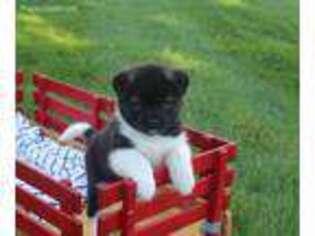 Akita Puppy for sale in Massillon, OH, USA