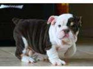 PuppyFinder com - View Ad: Photo #1 of Listing Bulldog Puppy