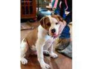 American Bulldog Puppy for sale in Coffeyville, KS, USA