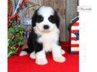 Mutt Puppy for sale in Abilene, TX, USA