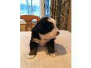 Puppyfinder com: Bernese Mountain Dog puppies for sale near me in