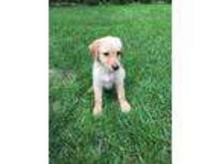 Labradoodle Puppy For Sale near Algona, IA, USA