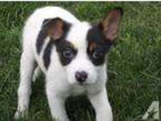 View Ad: Jack Russell Terrier Puppy for Sale, Michigan