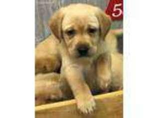 Puppyfinder com: Labrador Retriever puppies puppies for sale near me