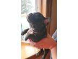 French Bulldog Puppy for sale in Leola, SD, USA