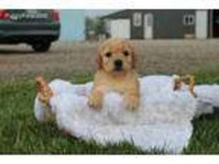 View Ad: Goldendoodle Puppy for Sale, Illinois, Champaign, USA