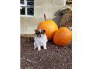 Pomeranian Puppy for sale in Sugarcreek, OH, USA