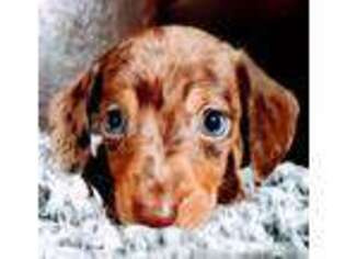 Dachshund Puppy for sale in West Liberty, KY, USA