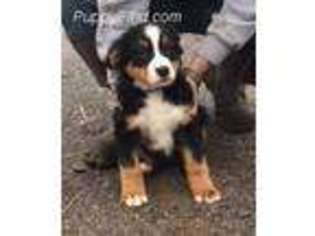 View Ad Bernese Mountain Dog Puppy For Sale Tennessee