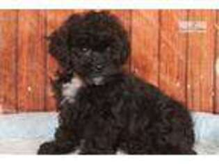 Shih-Poo Puppy for sale in Williamsport, PA, USA