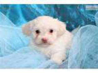 Havanese Puppy for sale in Greensboro, NC, USA