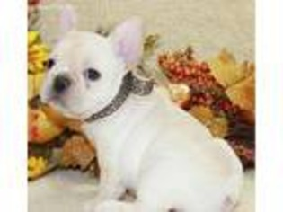 french bulldog rescue dallas view ad french bulldog puppy for sale texas dallas 5572