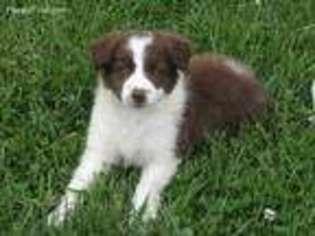 View Ad Border Collie Puppy For Sale Near Ohio Williamsburg Usa