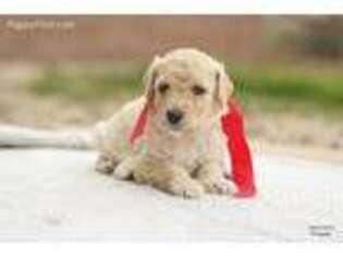 Labradoodle Puppy for sale in Marana, AZ, USA