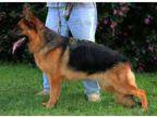 German Shepherd Dog Puppy for sale in London, KY, USA