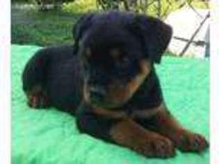 Puppyfindercom Rottweiler Puppies For Sale Near Me In Emerald Isle