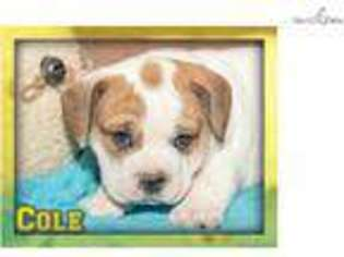 Beabull Puppy for sale in Canton, OH, USA