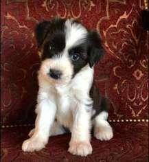 Black Tibetan Terrier Puppies
