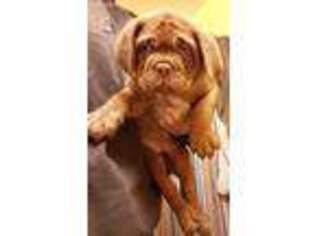 American Bull Dogue De Bordeaux Puppy for sale in Salisbury, MD, USA