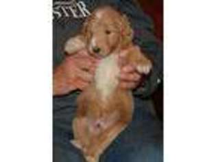 Puppyfinder com: Goldendoodle puppies for sale near me in Larsen