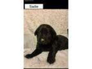 Labrador Retriever Puppy for sale in Decatur, IN, USA