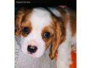 PuppyFinder com - View Ad: Photo #1 of Listing Cavalier King
