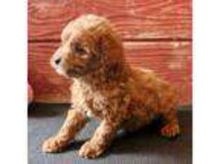 View Ad Labradoodle Puppy For Sale Ohio Archbold Usa