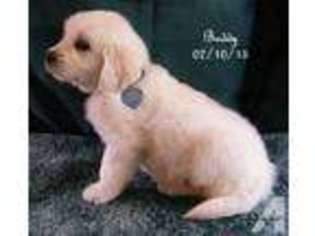 View Ad: Golden Retriever Puppy for Sale, Oregon, THE DALLES