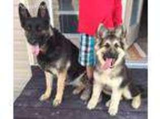 View Ad German Shepherd Dog Puppy For Sale Idaho Blackfoot Usa
