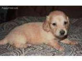 View Ad Dachshund Puppy For Sale Oregon Salem Usa