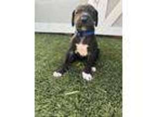 Great Dane Puppy for sale in Las Vegas, NV, USA
