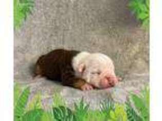 Olde English Bulldogge Puppy for sale in Delta, CO, USA