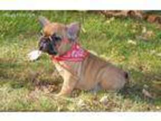 French Bulldog Puppy for sale in Bridgewater, NJ, USA