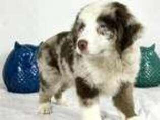 Puppyfinder com: Miniature Australian Shepherd puppies for sale near