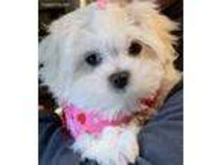 Puppyfinder com: Maltese puppies puppies for sale and Maltese dogs