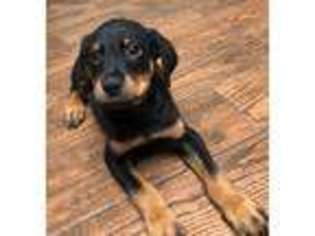 View Ad Rottweiler Puppy For Sale Texas San Antonio Usa