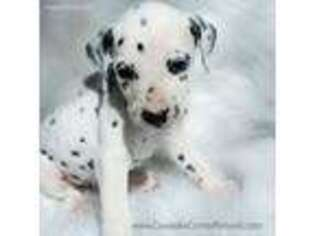 Dalmatian Puppy for sale in Lovell, WY, USA