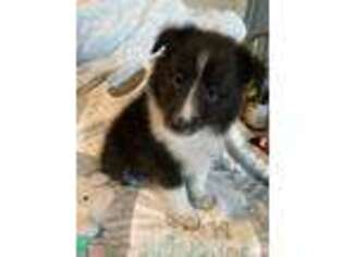 Shetland Sheepdog Puppy for sale in Pataskala, OH, USA