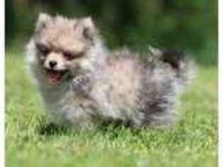 Pomeranian Puppy for sale in Grand Rapids, MI, USA