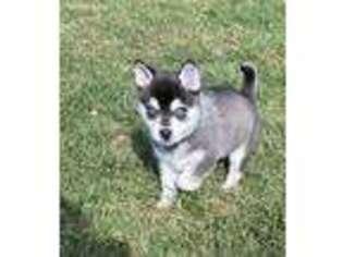 Alaskan Klee Kai Puppy for sale in Oakland, NE, USA