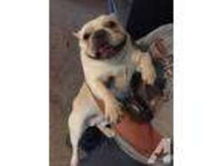 French Bulldog Puppy for sale in BELEN, NM, USA
