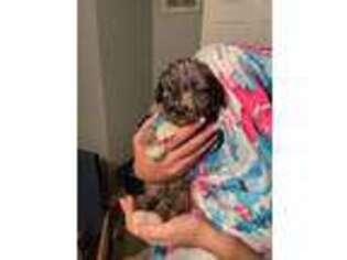 Australian Shepherd Puppy for sale in Chesapeake, VA, USA
