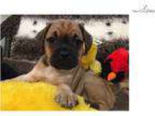 View Ad Puggle Puppy For Sale Florida West Palm Beach Usa