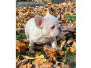 French Bulldog Puppy for sale in Salem, NH, USA
