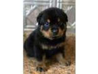 View Ad Rottweiler Puppy For Sale Texas Rockdale Usa