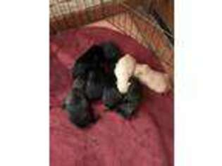 Scottish Terrier Puppy for sale in San Diego, CA, USA