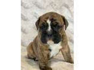 Valley Bulldog Puppy for sale in Holmesville, OH, USA
