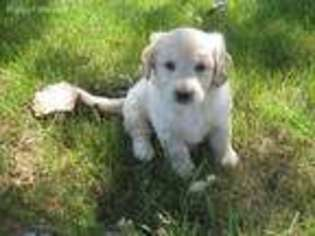 View Ad: Goldendoodle Puppy for Sale near Iowa, Donnellson, USA  ADN