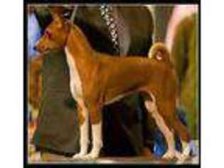 Puppyfinder com: Basenji puppies for sale and Basenji dogs