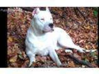 View Ad: Dogo Argentino Puppy for Sale near New Jersey